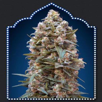 Image of 00 Kush seeds