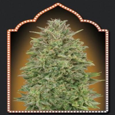 Image of 00 Skunk seeds