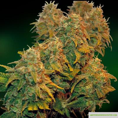 Image of 8 Ball Kush seeds