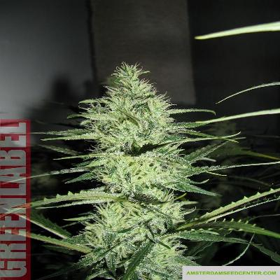 Image of Ace Silver Haze seeds