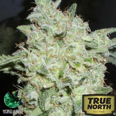 Image of Afghan Kush Special seeds