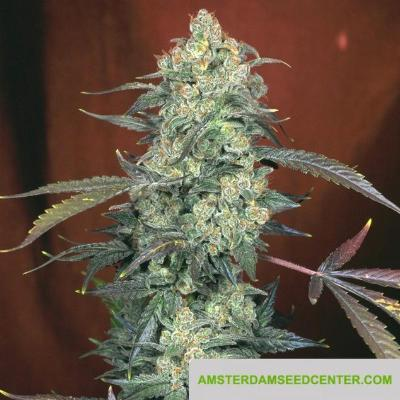 Image of AK-47 seeds