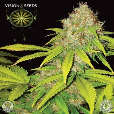 Image of AK-49 seeds