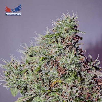 Image of Amnesia Mystery seeds