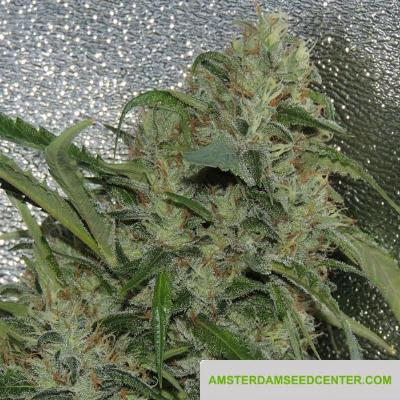 Image of Amnesia OG seeds