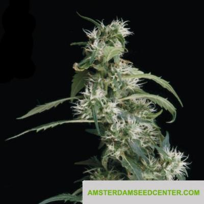 Image of Arjan's Ultra Haze 2 seeds