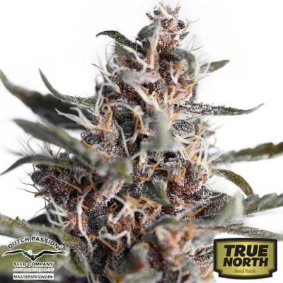 Image of AutoBlackberry Kush seeds