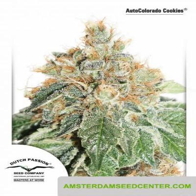 Image of AutoColorado Cookies seeds