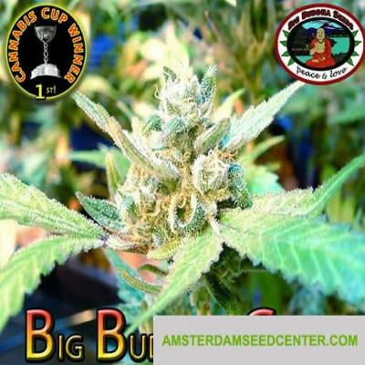 Image of Big Buddha Cheese seeds
