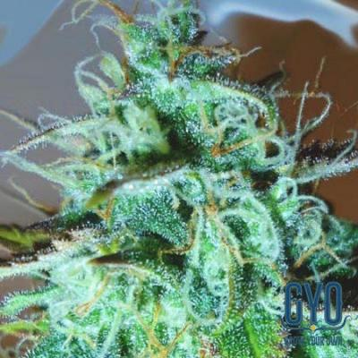 Image of Black Afghani Kush seeds