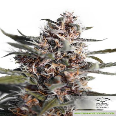 Image of Blackberry Kush seeds