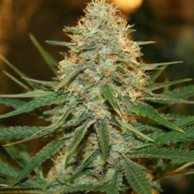 Image of Blue Cookies seeds