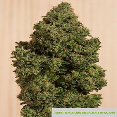 Image of Blue Dream CBD seeds