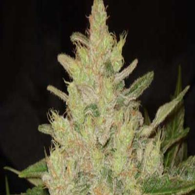 Image of Blueberry Ghost OG seeds