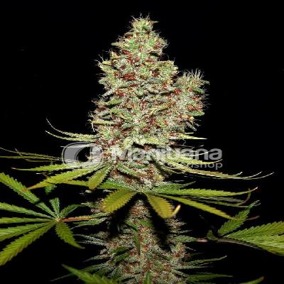 Image of Caramel Candy Kush seeds