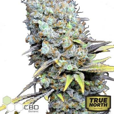 Image of CBD Big Bud Super Skunk seeds