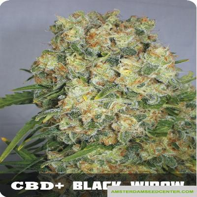 Image of CBD + Black Widow