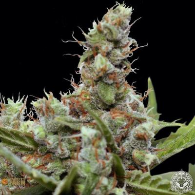 Image of CBD Blue Shark