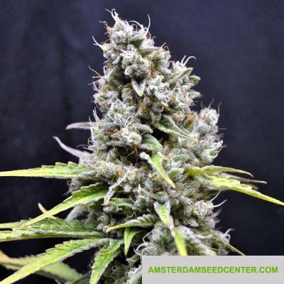 Image of CBD Skunk Haze seeds