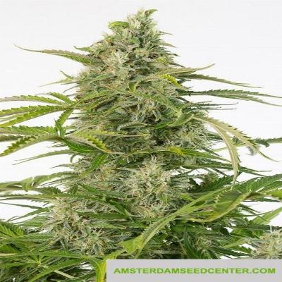 Image of Cheese CBD seeds