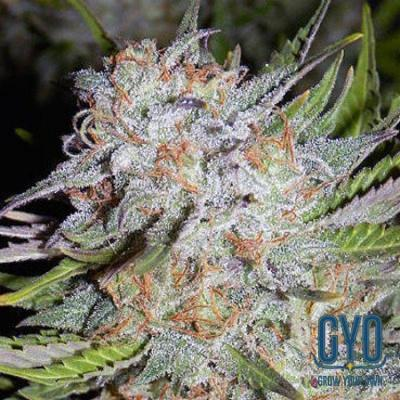 Image of Chem City Blues seeds
