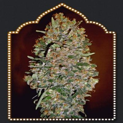 Image of Chocolate Skunk