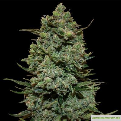 Image of Cookies Kush