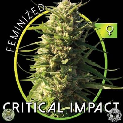 Image of Critical Impact seeds
