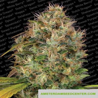 Image of Dutch Kush seeds