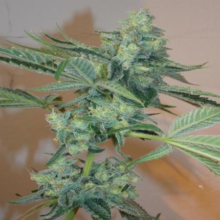 Image of Girl Scout Cookies