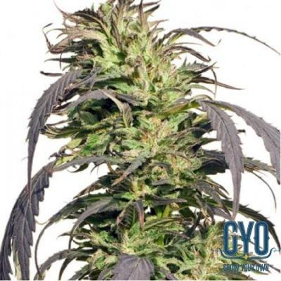 Image of Gold Rush Outdoor seeds