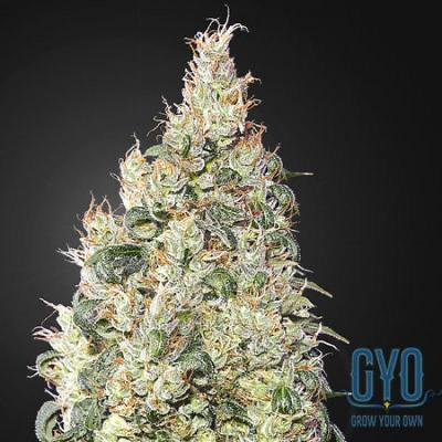 Image of Great White Shark CBD seeds