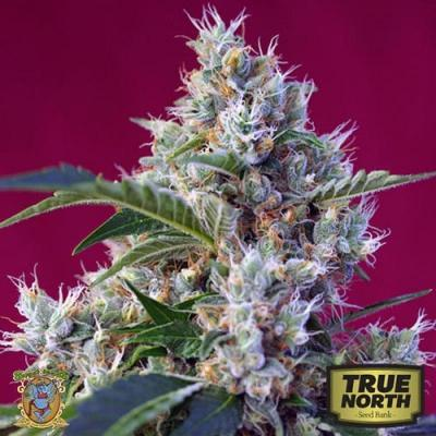 Image of Indigo Berry Kush seeds
