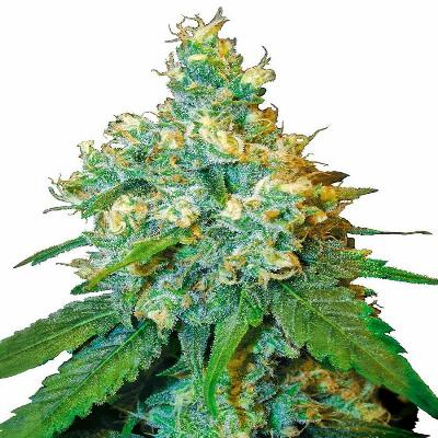 Image of Jack Herer