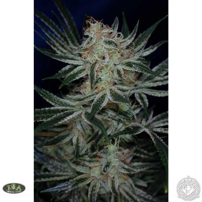 Image of Jack the Ripper seeds