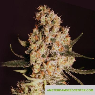 Image of Jamaican Dream seeds