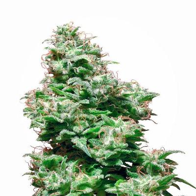Image of Kali Haze seeds