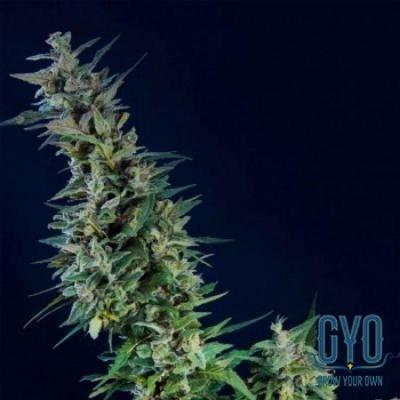 Image of Kama Kush CBD seeds