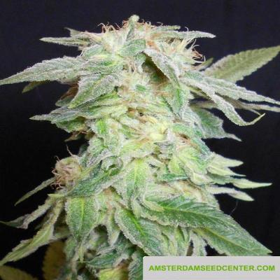 Image of King Kush seeds