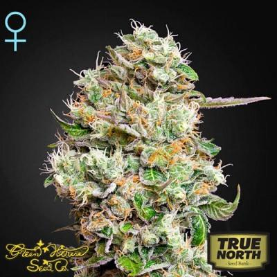 Image of King's Kush CBD seeds