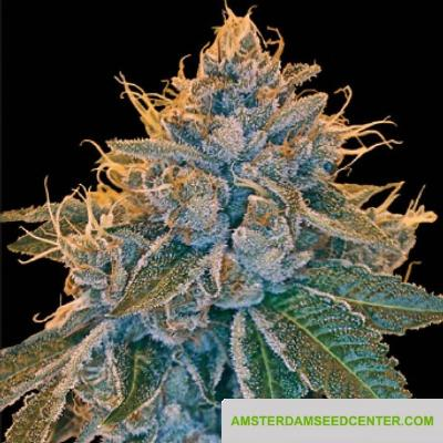 Image of Kosher Kush seeds