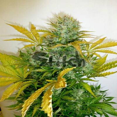 Image of Kush Van Stitch seeds