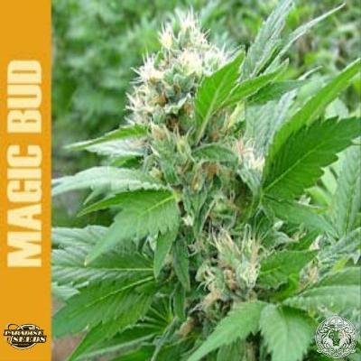 Image of Magic Bud seeds