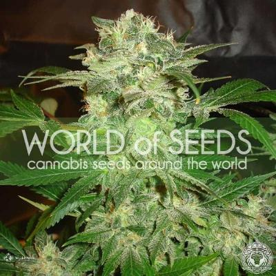 Image of Mazar Kush seeds