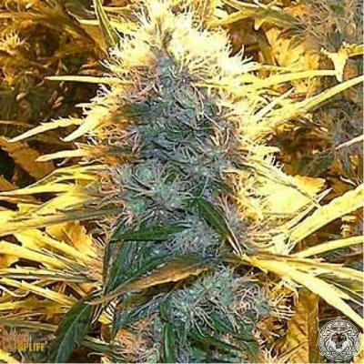 Image of Medical Kush seeds