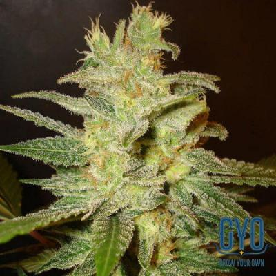 Image of Northern Light x Skunk seeds