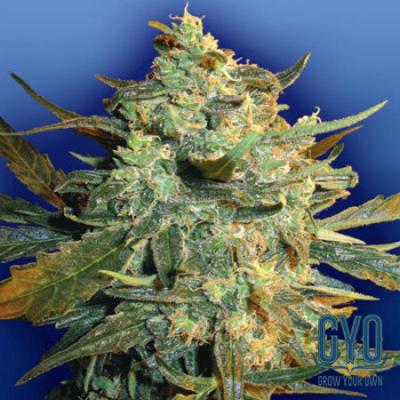 Image of Power Skunk seeds