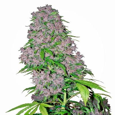 Image of Purple Bud