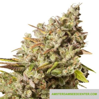 Image of Royal Gorilla seeds