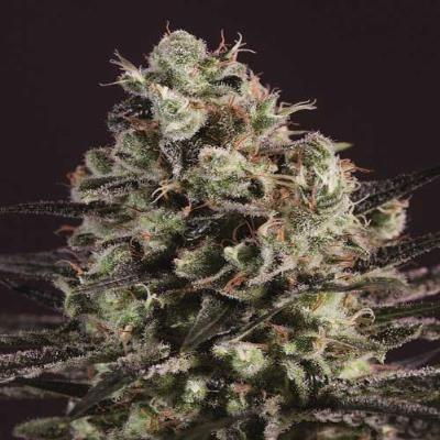 Image of Royal Purple Kush x SCBDx seeds